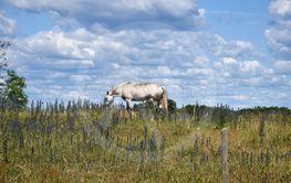 Betande vit häst i ett sommarlandskap med blommande...