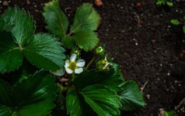 Bush of strawberry plant  in a spring garden