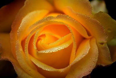 Rose Dew Yellow II