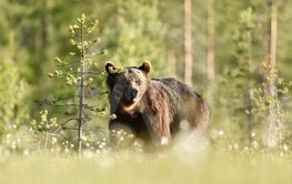 Brown bear in daylight next to a tree