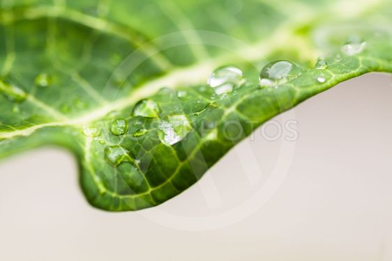 Closeup of water droplets on the tip of green leaf