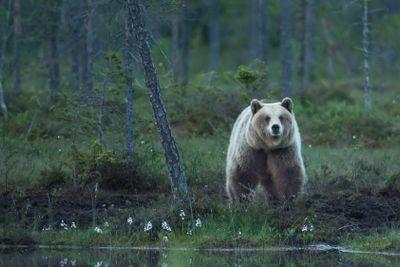 Björn i nattmörkret