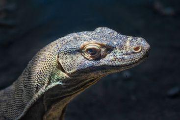 Head of Komodo dragon at dark background, Budapest zoo...