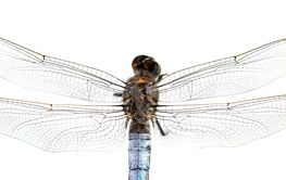 extreme macro shot of dragonfly's hairy back and wings...