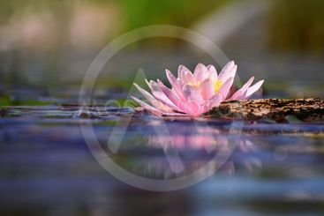 Beautiful flowering pink water lily - lotus in a garden...