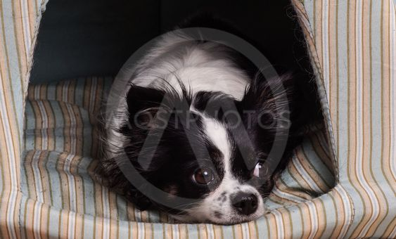 accessories dog  Black and White chihuahua