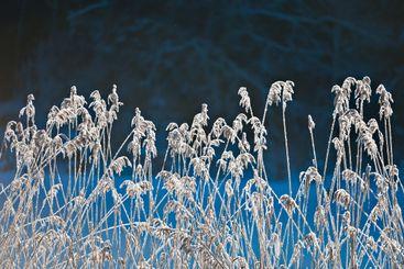 Frozen reeds on riverbank, Östergötland, Sweden, Europe