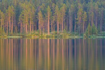 A forest of tall trees reflected in a still lake
