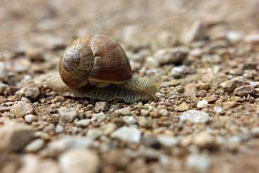 Slug with shell close up on a stony path