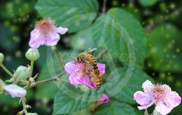 dewberry flowers and bee