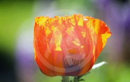 Beautiful red poppies photographed close up on a blurred...