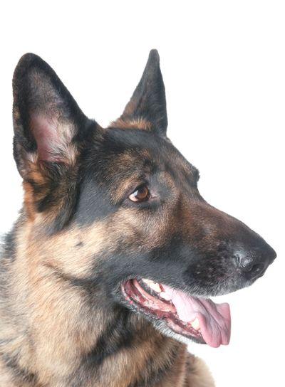police dog closeup