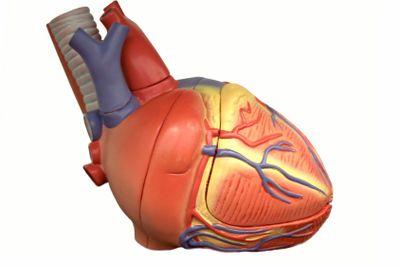 Model of the Heart