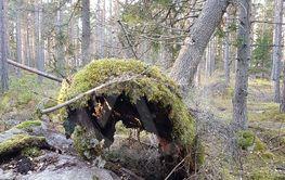 Vindfällda granträd