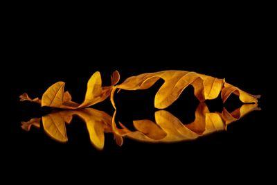 Oak fish