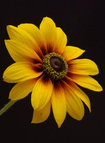 Yellow Daisy Closeup
