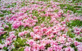 A garden carpet of pink wild cherry flowers on green lawn.