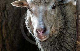 Sheep. Portrait head of a sheep close up in the barn