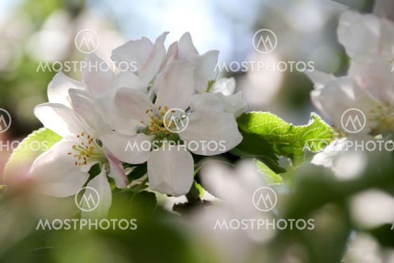 Almanacka 2020 Maj - Äppelblom Apple blossom - Silvertid