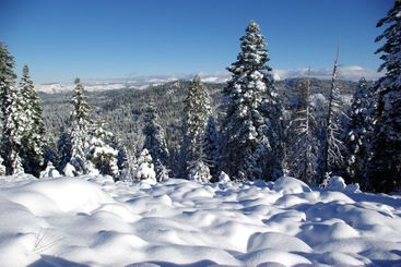 Snow Covered Trees In The Sierra's