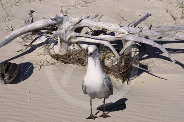 Seagull and  Driftwood on a pristine sandy tropical...