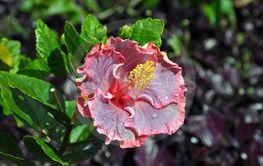 Pink hawaiin hibiscus