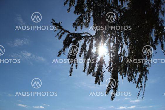 fir branch, sky, clouds, blue sky, sun