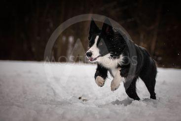 Running black and white border collie