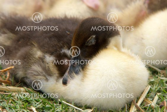 sleeping duckling