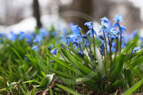 blue first flower in spring