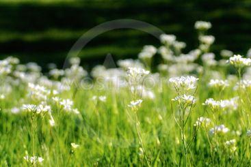 Panorama of White Pearlwort Flowers
