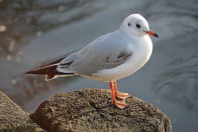 nice seagull
