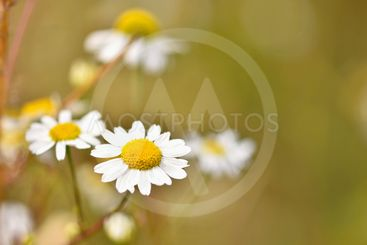Beautiful colorful flowers of daisies. Background for...
