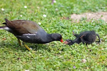 moorhen feeding his child on meadow