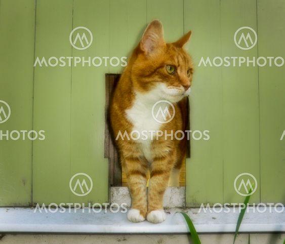 Rödvit katt