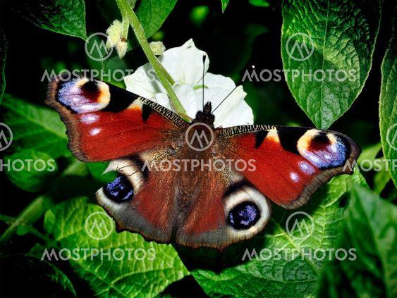 Peacock sommerfugl med brudte fløj