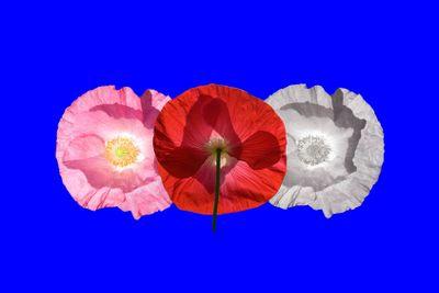 flora : poppies,MPEaster2013