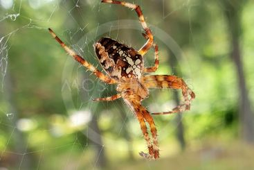Korsspindel i spindelnät