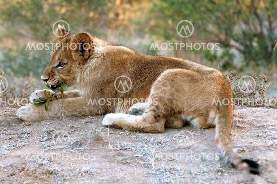 Lion - Löwe