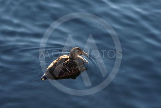 En Ejderhona i lugnt vatten på nära håll