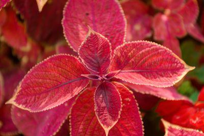 Top leafs of Coleus