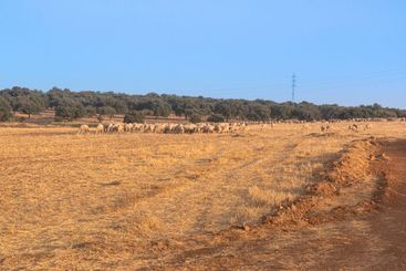 Sheep grazing fields and cereal cultivation