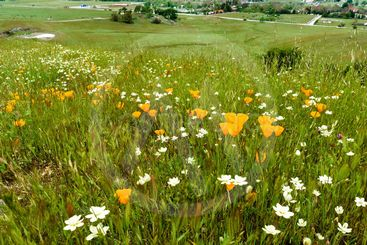 Wildflowers blooming on a meadow in Calero County Park...