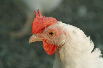 huhn | chicken