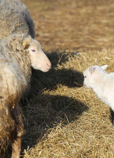 Gränsö nyfött lamm