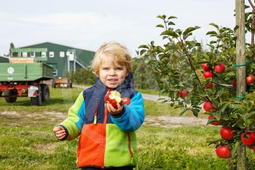 Little toddler boy of two years picking red apples in an...