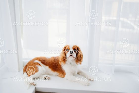 Cavalier King Charles Spaniel - a breed of companion...