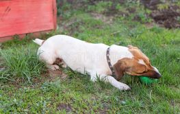 Good little dog Jack Russell Terrier is lying on the...