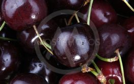 many sweet cherry at day