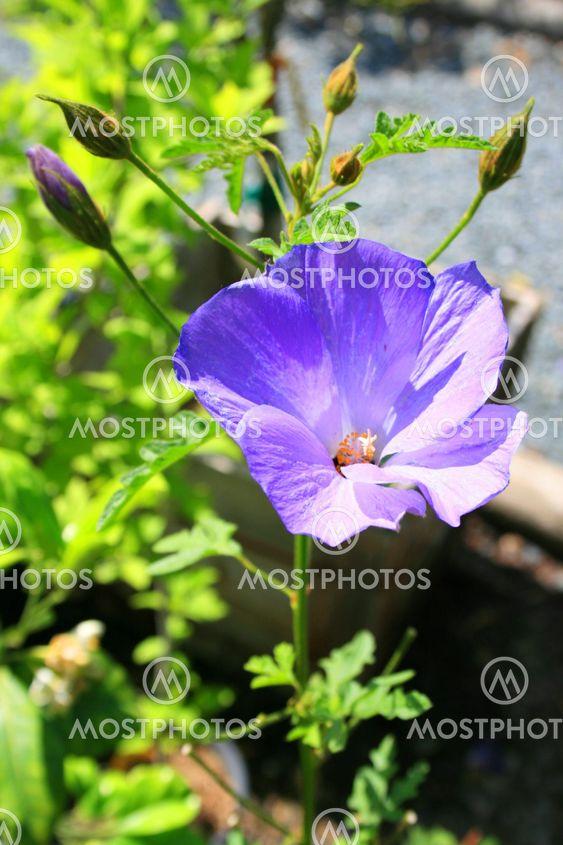 Villi kukka Purple